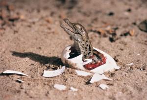 crías de cocodrilo charlan antes de salir del cascarón