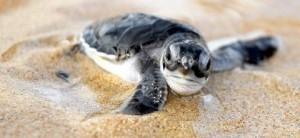 Tortugas marinas en peligro