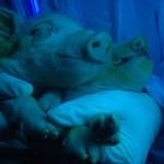 China las primeras crías fluorescentes del cerdo clonado