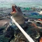 Foca atrapada por PLASTICO en el Mar